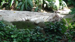 Tigre zoo singapour